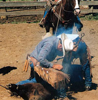Blue Allen shoeing cattle in old photo